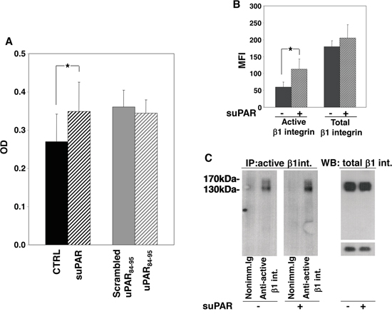 Full-length suPAR increases adhesion of KG1 cells to fibronectin.