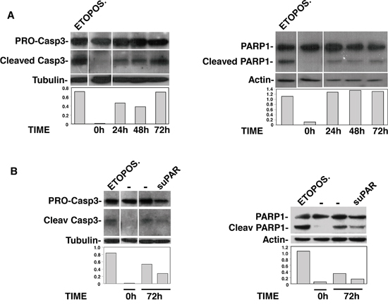 Full-length suPAR protects KG1 cells from apoptosis.
