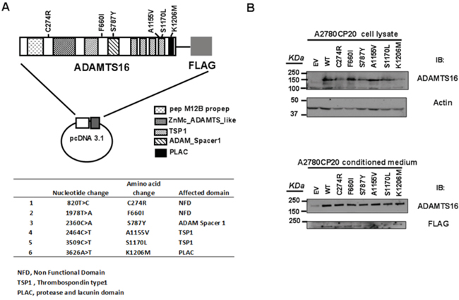 ADAMTS16 mutations and the creation of stable cell lines.