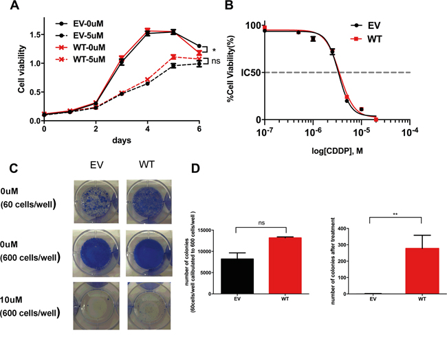 The effect of wild-type (WT) ADAMTS16 on cancer cells.