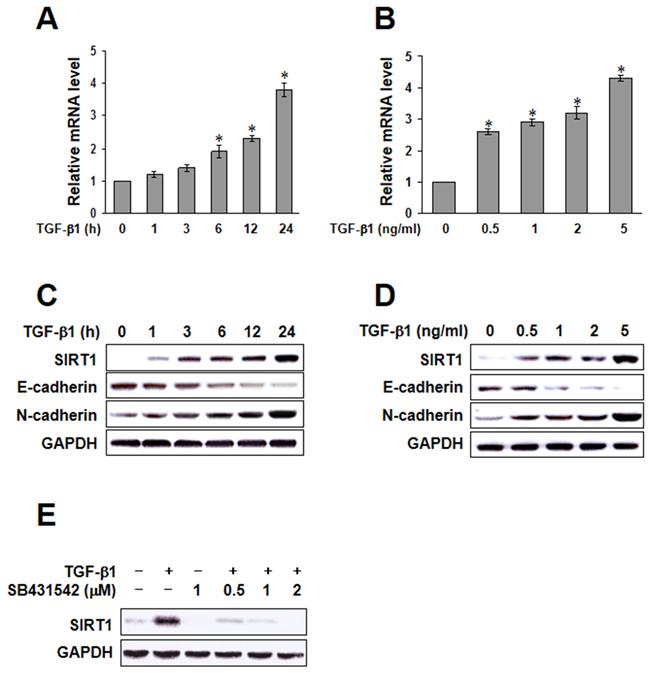 Transforming growth factor (TGF)-β1-induced sirtuin 1 (SIRT1) expression.