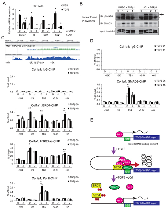 JQ1 inhibits the TGF-β pathway by disrupting BRD4 binding to promoter regions of target genes.