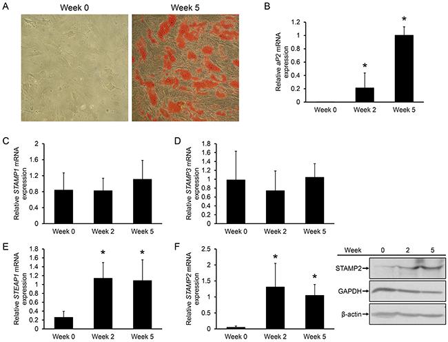 Regulation of STAMP family expression during ASC adipogenesis.