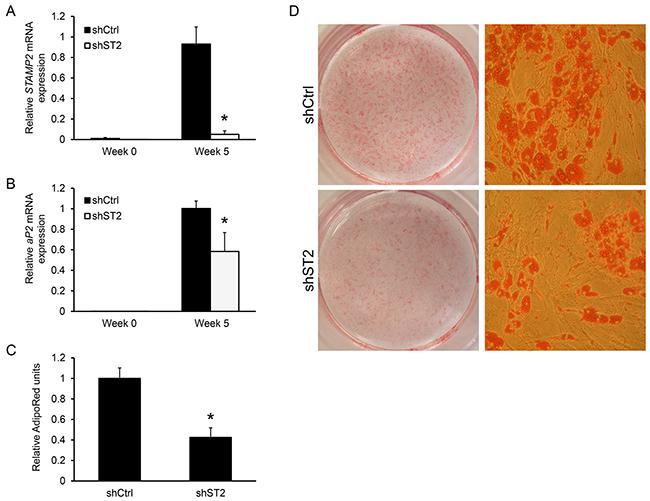 Knockdown of STAMP2 suppresses ASC adipogenesis.