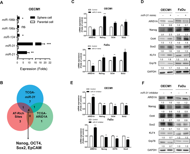 miR-31 downregulates ARID1A and upregulates pluripotency genes.