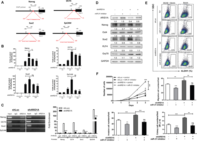 miR-31 inhibits ARID1A to transactivate pluripotency genes and oncogenicity.