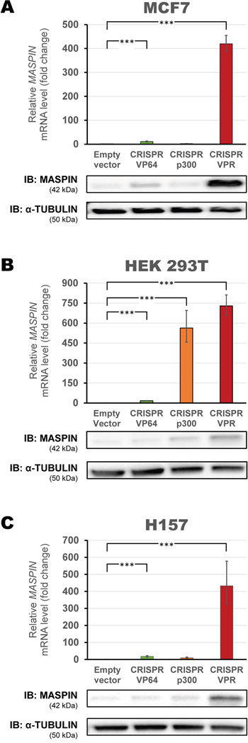 Up-regulation of MASPIN expression by second-generation CRISPR/dCas9 p300 and VPR.