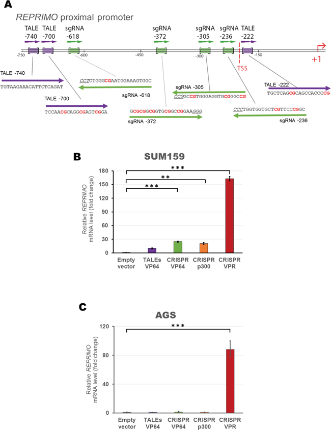 Design and construction of gRNAs and TALEs to activate REPRIMO mRNA expression in silenced cell lines.