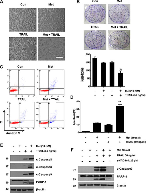 Sensitizing effect of metformin in TRAIL-induced apoptosis in human CRC cells.