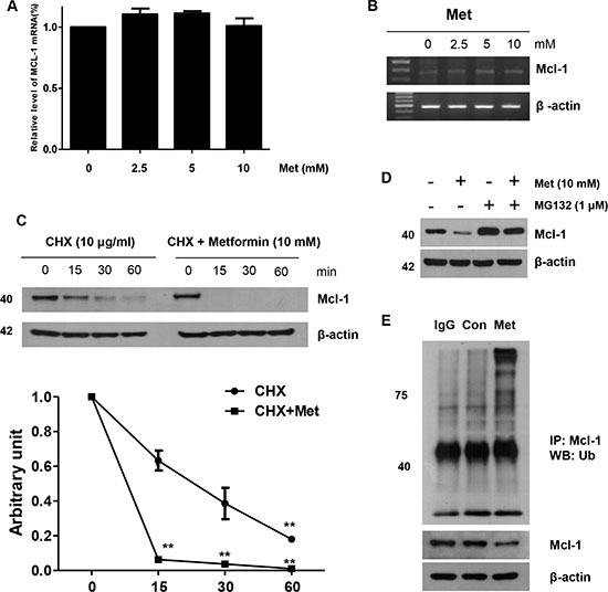 Role of Mcl-1 in the sensitizing function of metformin.