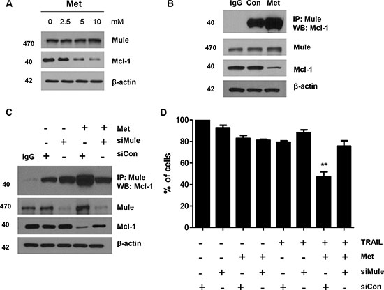 Metformin enhanced Mule/Mcl-1 complex detected in human CRC cells.