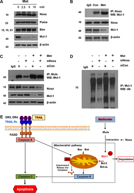 Mule is required for Noxa-induced Mcl-1 degradation following metformin treatment.