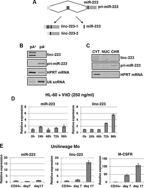 Linc-223 is a cytoplasmic lncRNA induced in monocytopoiesis.
