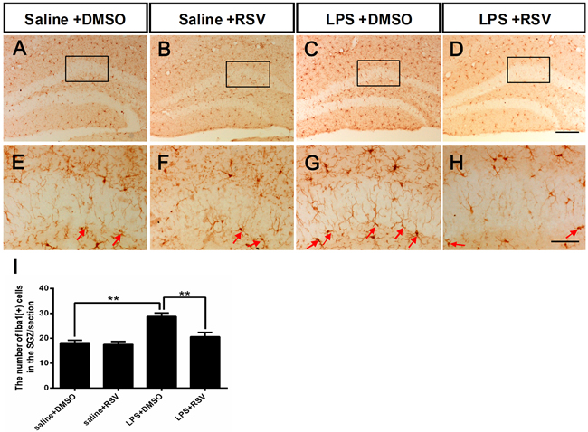 Pretreatment with RSV inhibited LPS-induced over-activation of microglia in the SGZ.