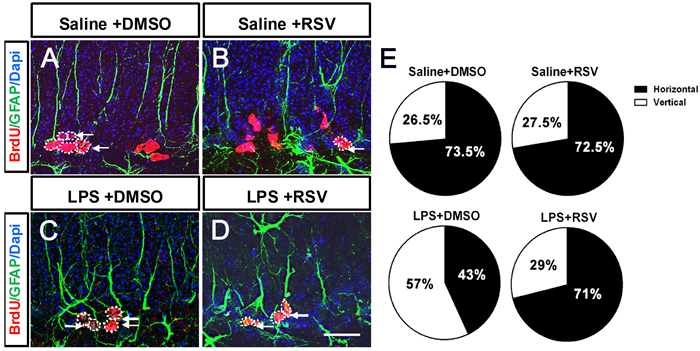 Pretreatment with RSV modulated the division mode of RGL progenitor cells in the GCL that was altered by LPS.