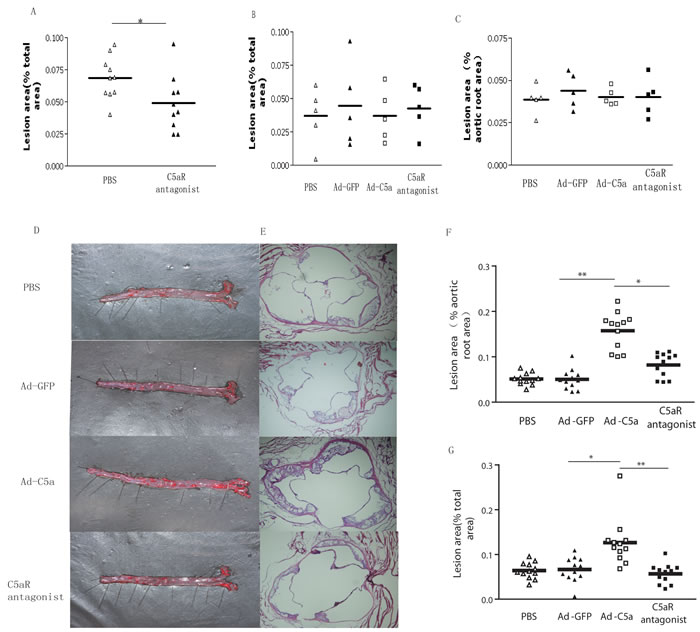 Efffect of C5a overexpression on atherosclerotic lesions in ApoE