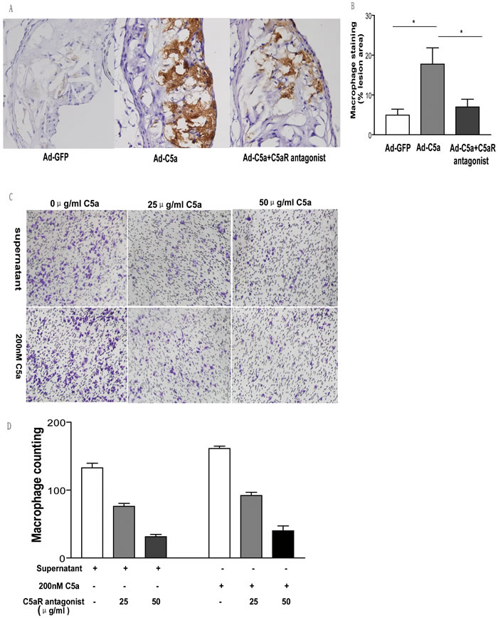 Effect of C5a overexpression on macrophage recruitment.
