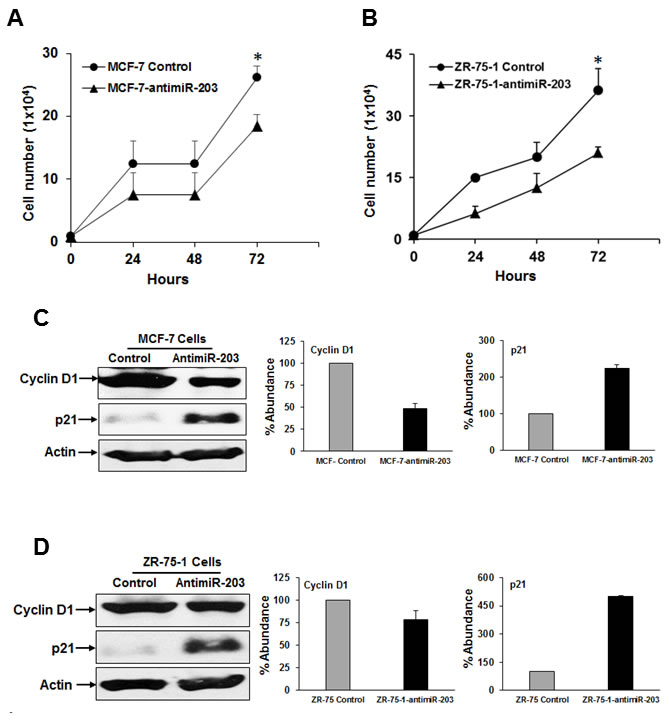 Inhibition of miR-203 expression alters cell proliferation and key cell cycle regulatory proteins.