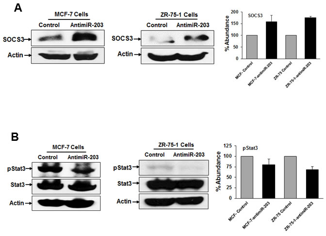 Inhibition of miR-203 increases the expression of SOCS3 and enhances phospho-STAT3 expression in breast cancer cells.
