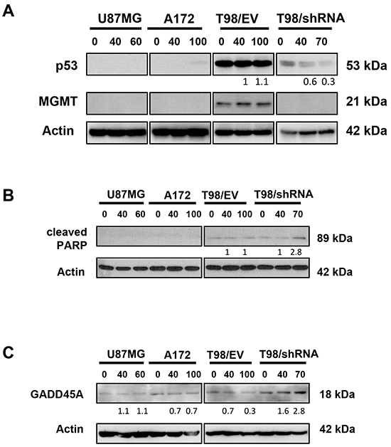 PRIMA-1MET decreased expression of mutp53 and increased cleaved PARP-1 and GADD45A in GBM cells with MGMT knockdown.