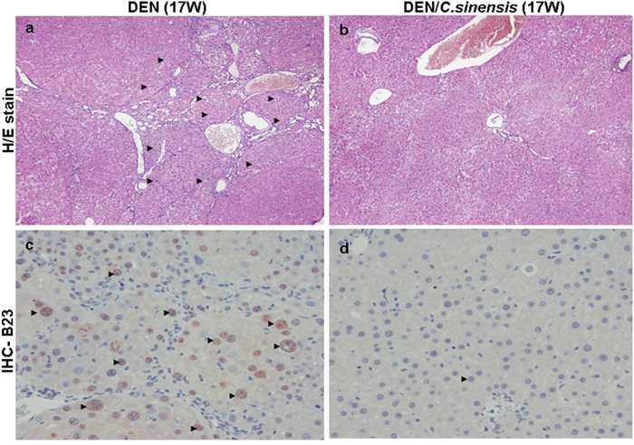 Histologic examination of rat liver at 17 week (17 W) by hematoxylin and eosin (H/E) staining and immunohistochemical staining for