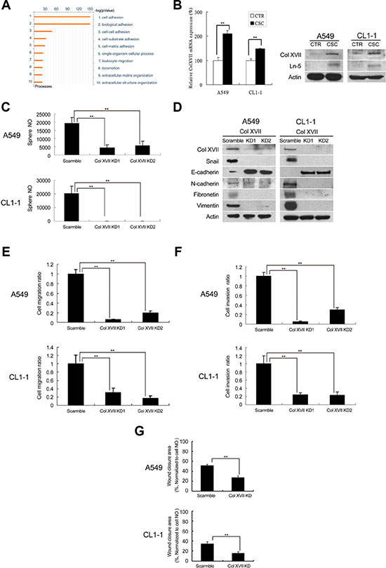 Microarray analysis showed upregulation of Col XVII and laminin-5 in lung CSCs and knockdown of Col XVII reduced the features of CSC and EMT.