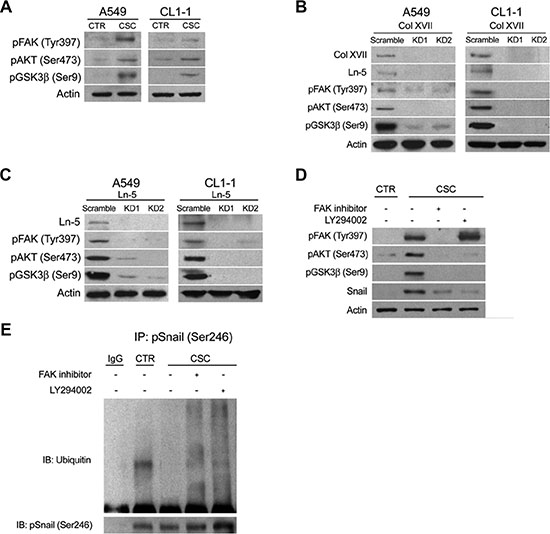 Knockdown of Col XVII or laminin-5 decreased the expression of phosphorylated FAK, AKT and GSK3β in A549 and CL1-1 lung cancer cells cultured in spheroid culture.