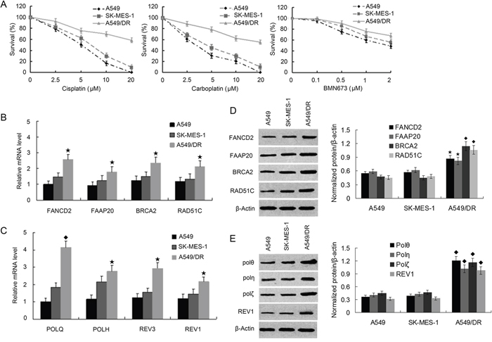A549/DR cells are resistant to cross-linking agents, and expression of FA, HR and TLS pathway factors are elevated compared with A549 and SK-MES-1 cells.