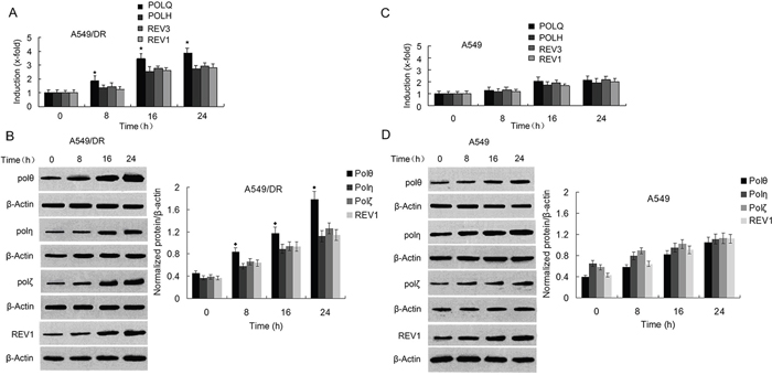 Expressions of POLQ were significantly increased in A549/DR cells compared with POLH, REV3, and REV1 by exposure of the cells to cisplatin.