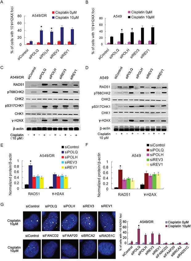 A549/DR cells depleted of POLQ, POLH, REV3 or REV1 display significant DNA damage response, and depletion of POLQ remarkably enhance RAD51 expression.
