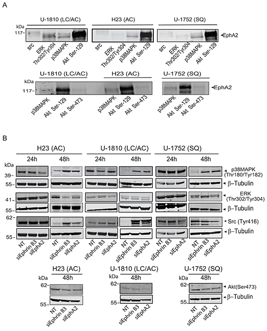 Ephrin B3 and EphA2 interact and control multiple proliferative kinases.
