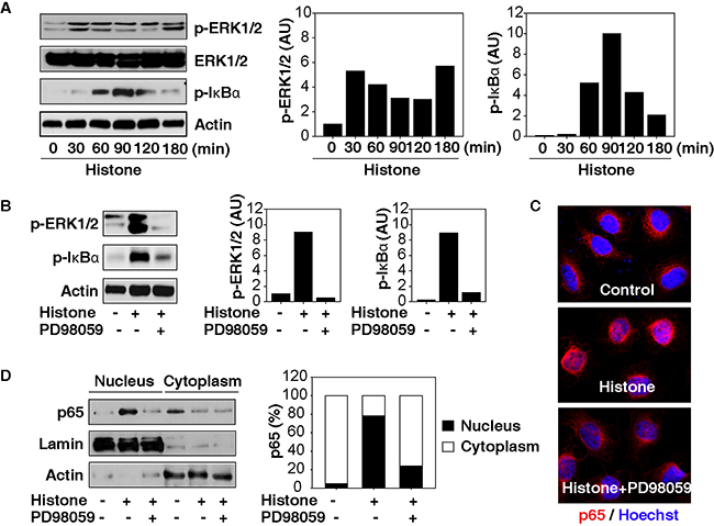 MAPK/ERK contributes to histone-induced NF-κB activation in HCC cells.
