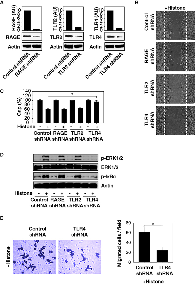TLR4 is required for histone-induced NF-κB activation and HCC cell migration.