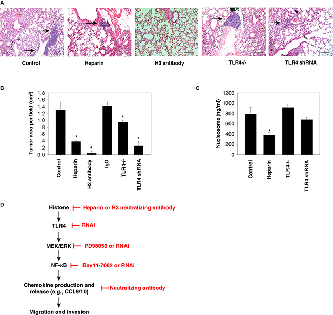 Histone-TLR4 pathway mediates lung metastasis of HCC cells in vivo.