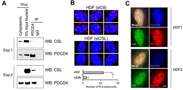 Oncotarget Pdcd4 Is A Csl Associated Protein With A Transcription