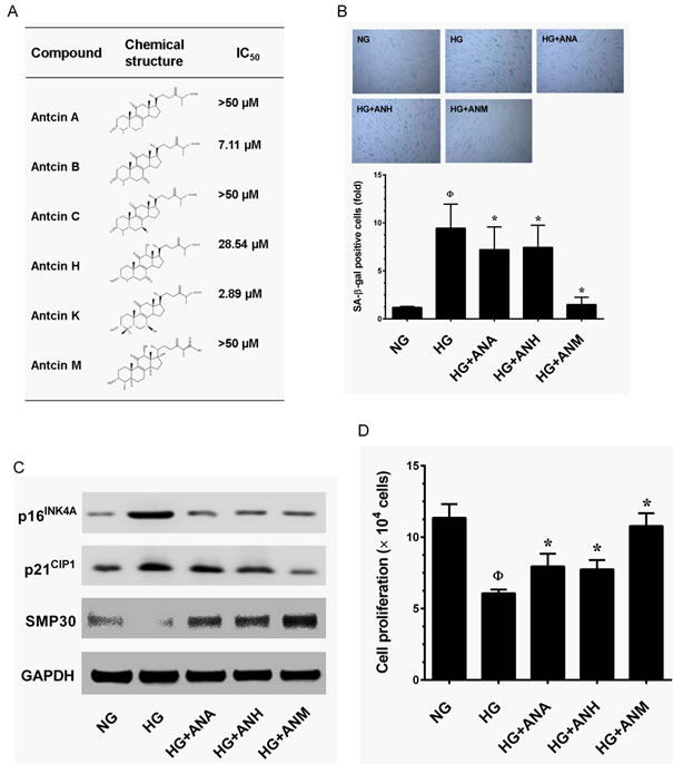 Effects of antcins on HG-induced senescence in HNDFs.