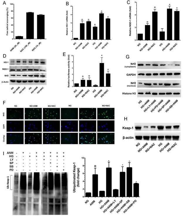 Antcin M activates Nrf2-dependent anti-oxidant defense in HNDFs.