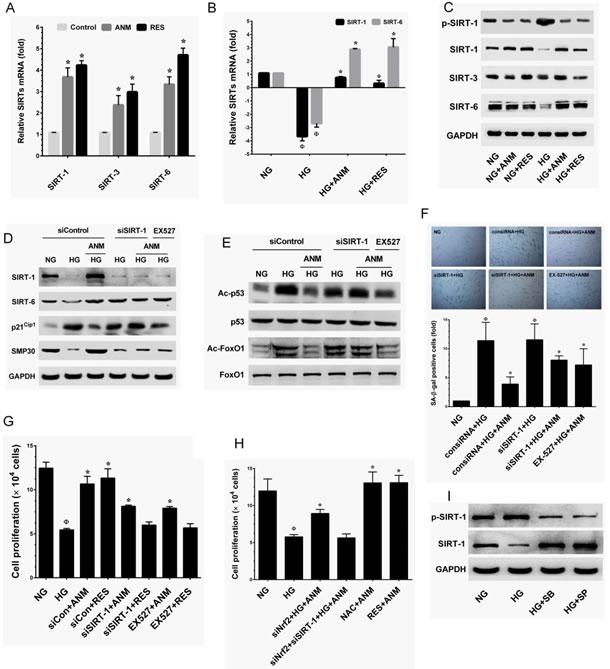 Antcin M upregulates SIRT-1 in HNDFs.