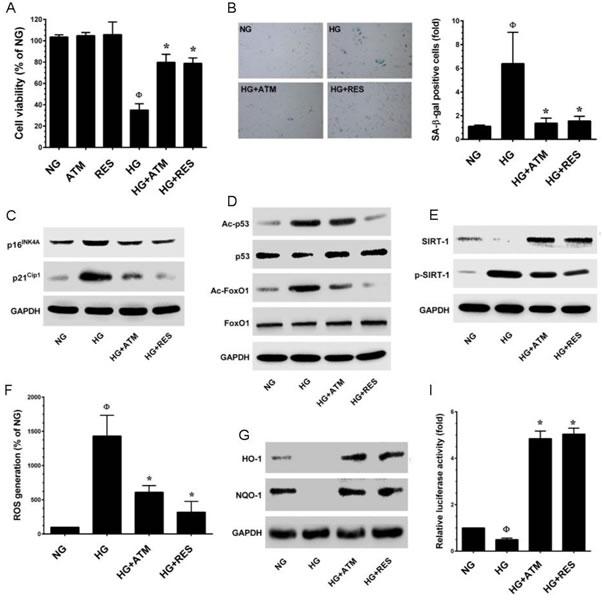 Antcin M prevents HG-induced senescence in HUVECs.