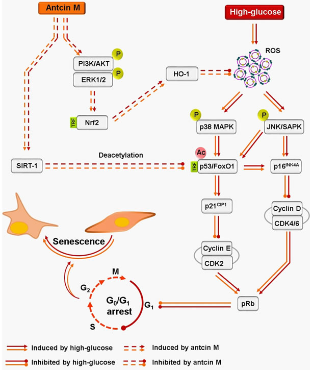 Schematic representation of antcin M-mediated protection against HG-accelarated stress-induced premature senescence in HNDFs and HUVECs.