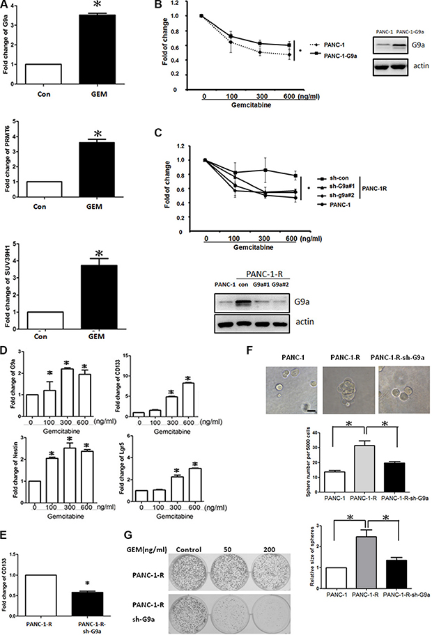 G9a increased GEM resistance and stem-like properties in pancreatic cancer cells.
