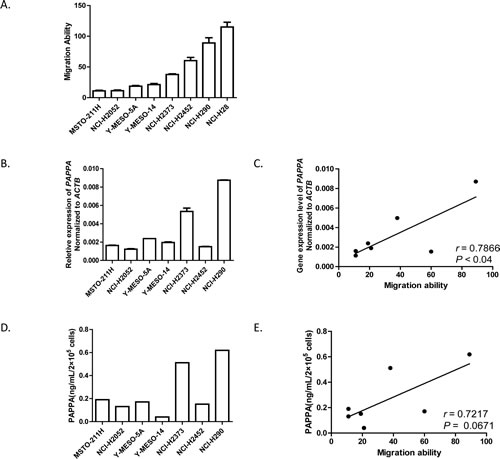 Migration abilities of malignant pleural mesothelioma cells are positively correlated with their expression levels of PAPPA.