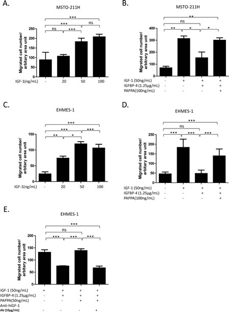 PAPPA enhances migration of MPM cells by enzymatically cleaving inhibitive IGFBP-4 and releasing IGF-1 as chemotactic factor.