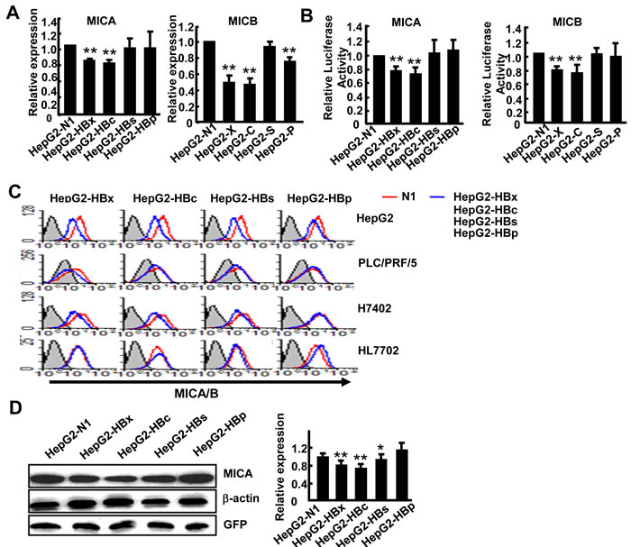 Overexpression of HBx and HBc genes suppresses MICA expression in hepatoma cells.