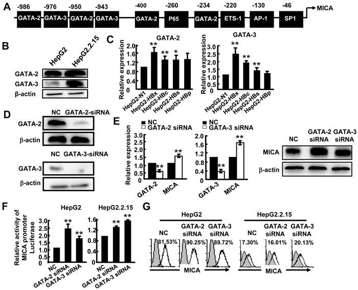 GATA-2 and GATA-3 suppress MICA expression.