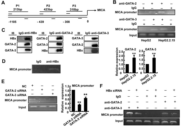 GATA-2 and GATA-3 inhibit MICA transcription, while HBx contributes this effect.