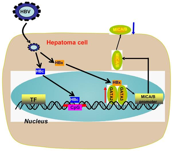 Working model for HBV suppression of MICA/B expression on hepatoma cells.