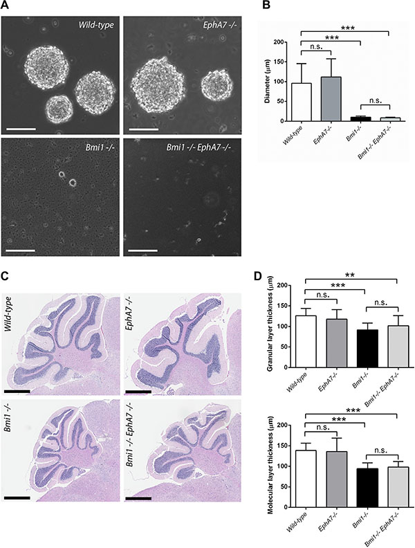 EphA7 deletion does not rescue postnatal neurosphere and cerebellar defects in Bmi1−/− mice.