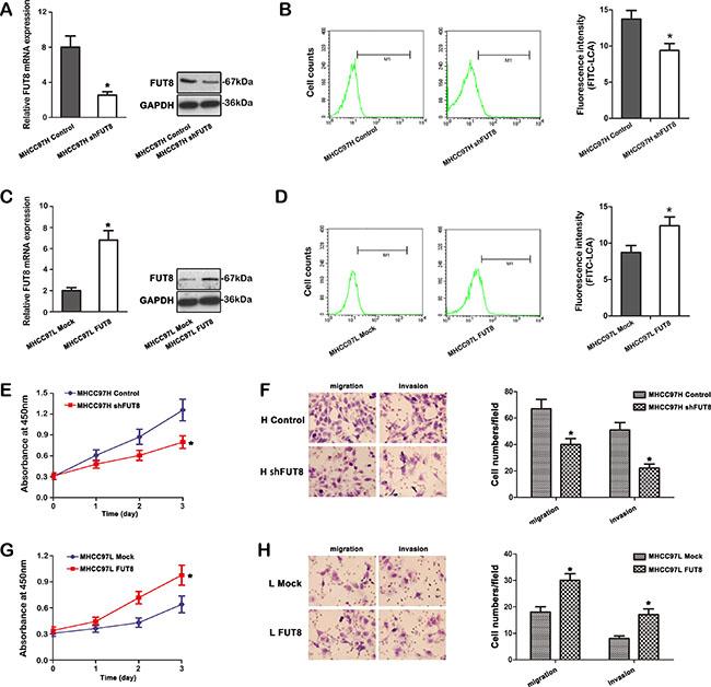 FUT8 correlates with HCC cells progression in vitro.