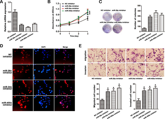 Effect of miR-26a, miR-34a and miR-455-3p inhibitor on cell progression in MHCC97L cells.